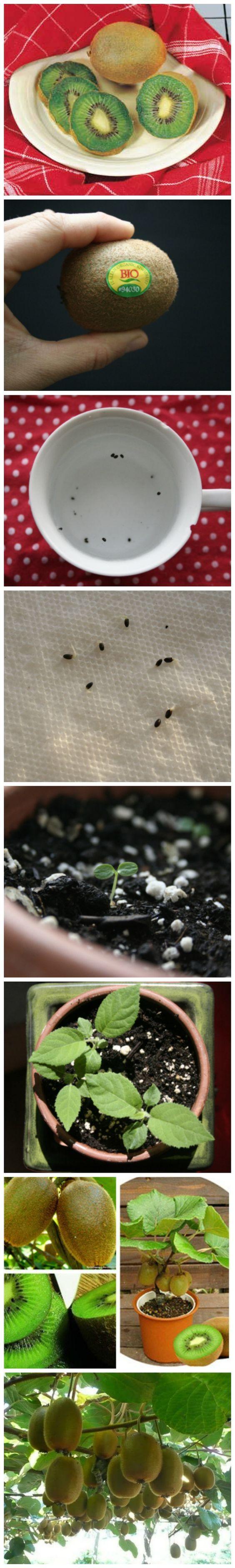 Kiwi selbst anpflanzen - ganz leicht - step by step Anleitung *** How to grow your own Kiwi