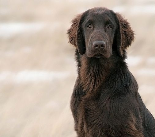 Flat Coated Retriever. Because of the way the fur is, it's not a chocolate lab.