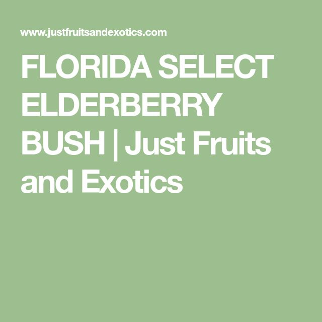 FLORIDA SELECT ELDERBERRY BUSH | Just Fruits and Exotics