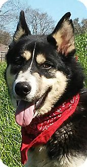 sommerville, MA - Husky/Border Collie Mix. Meet Lobo - docile and calm boy!, a dog for adoption. http://www.adoptapet.com/pet/17599447-sommerville-massachusetts-husky-mix