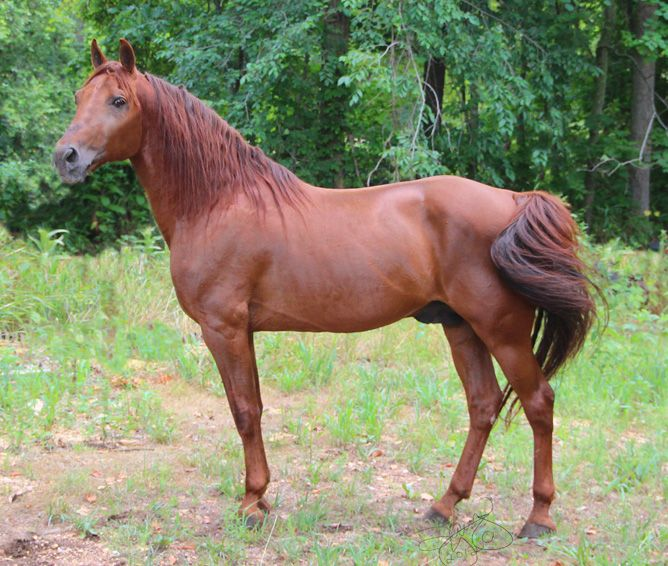 Though lacking the extravagant movement of other gaited breeds, the Missouri Fox Trotter is renowned for the sure-footedness and gentle disposition.   c...