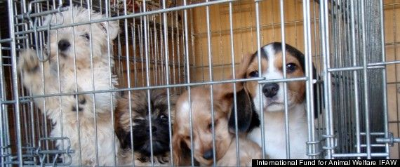Online Puppy Mills: International Fund For Animal Welfare Report Exposes Massive Industry  Posted: 12/11/2012