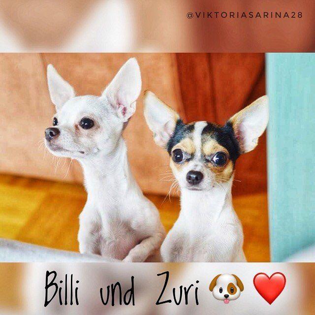 Wie Suss Sind Sie Bitte Vikisarinafam Viktoriasarina Sarina Viktoria Bff Bestyoutuber Billi Zuri Hund Dogs Chihuahua Chihuahua Susseste Haustiere Tiere