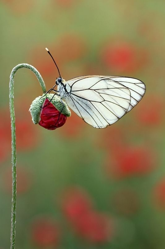 Butterfly~lisans on deviantART