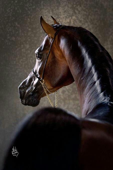 Arabian Horse World Magazine