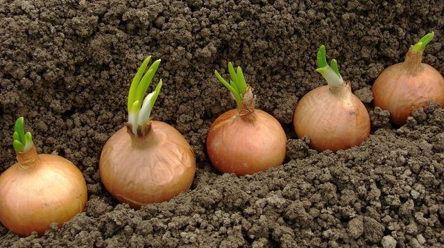 Quand et comment planter les oignons ?