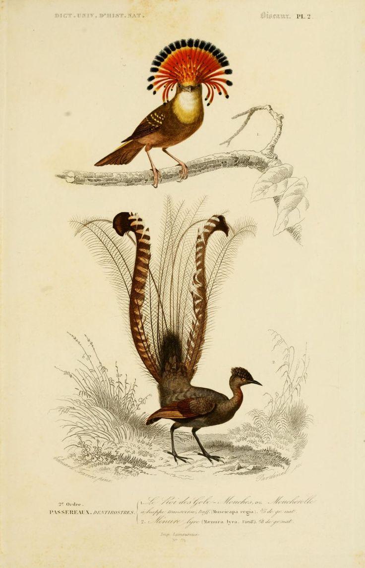 gravures couleur d'oiseaux - Gravure oiseau 0177 menure lyre - maenura lyra - passereau - Gravures, illustrations, dessins, images