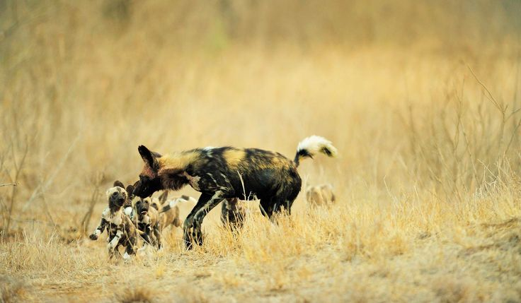 A family of Wild Dog's near Tintswalo Safari Lodge, located in Manyeleti in the Kruger area of South Africa.  Tintswalo Safari Lodge is a genuinely upmarket facility, with excellent levels of food, service and guiding. Ideal for guests looking for these levels of comfort in the bush and considerably lower cost than equivalent options in the premium Sabi Sand areas immediately to the south.  #SouthAfrica #Safari #WildDog