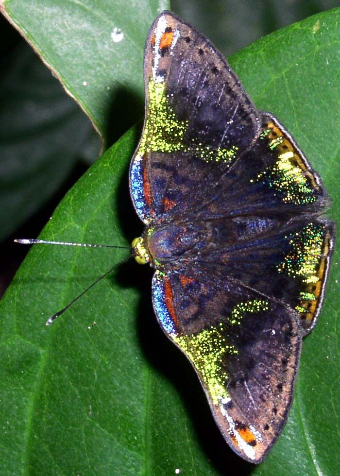 Caria Trochilus