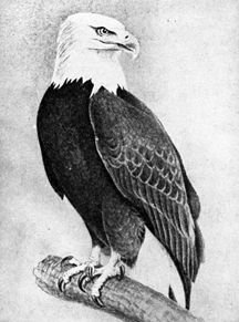 Bald Eagle Drawings: Capturing the Magic of a National ...