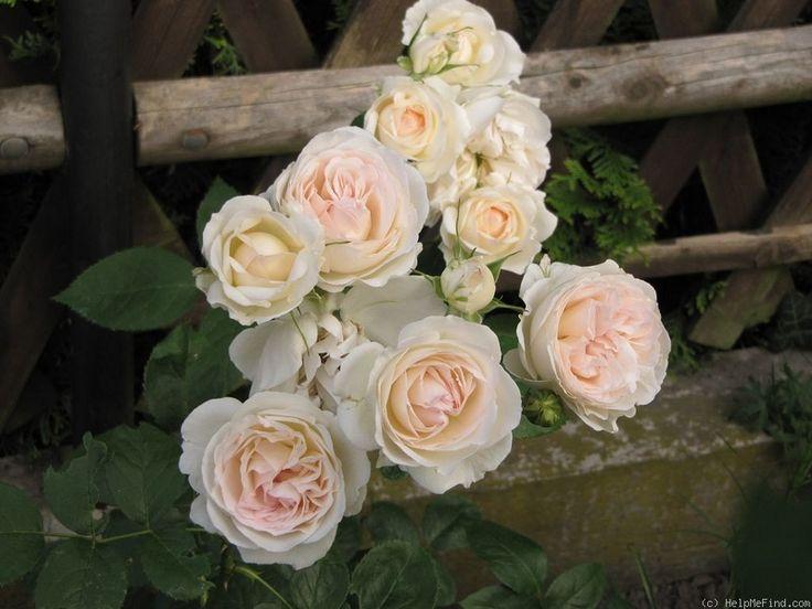 122 best hybrid tea floribunda co roses images on. Black Bedroom Furniture Sets. Home Design Ideas