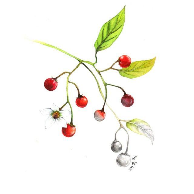 배풍등 내 안에 독있다  #illustration #일러스트 #wildflowers #야생화 #손그림 #watercolor #수채화 #drawing #pencil #배풍등 #독 #poison #빨간 #열매 #약재 로 먹음