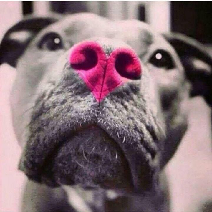 . #bully #dogs #pitbulls