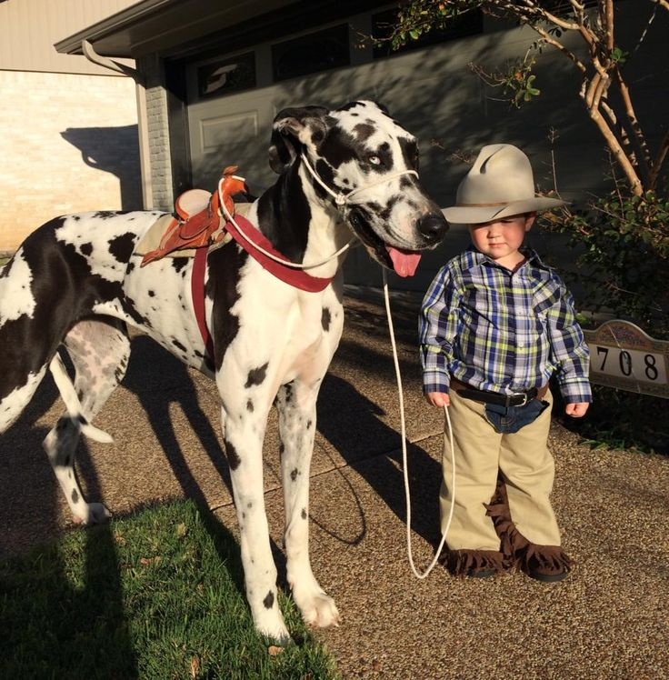 Toddler and Great Dane dog halloween costume. A cowboy and his horse!