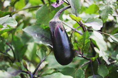 A cultivar berenjenas en casa: Planta de berenjena