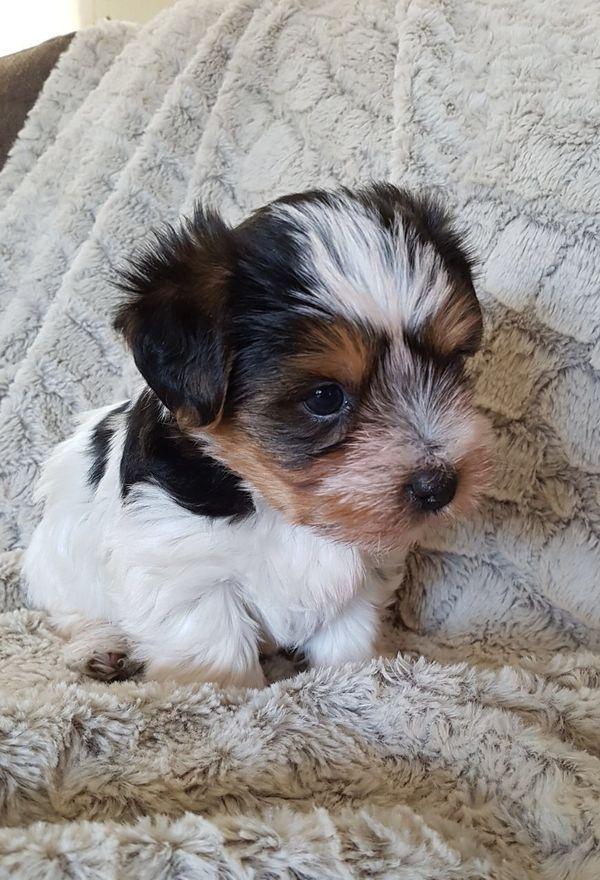 Pin Von Debbie Phelps Auf Love My Doggies In 2020 Hunde Yorkshire Hund Babyhunde