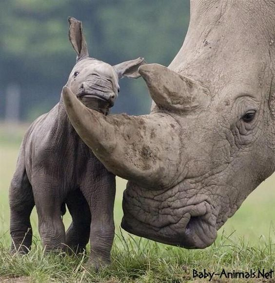 Baby rhino looking over parents horn