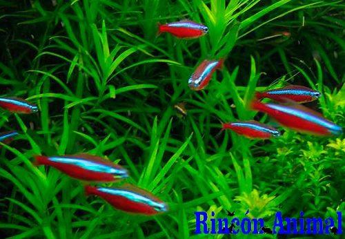 Complementos para animales - Compatibilidad entre peces tropicales de agua dulce - Complementos para animales