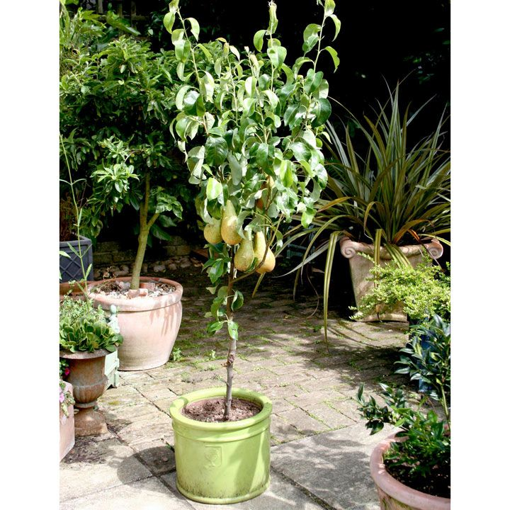 Patio Fruit Tree Pear Conference 4Ltr at Suttons Seeds