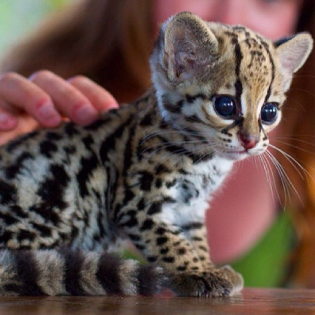 I'll take it!: Babyocelot, So Cute, Bengal Cat, Pet, Bengal Kittens, Baby Ocelot, Baby Animal, Big Eye, Baby Leopards