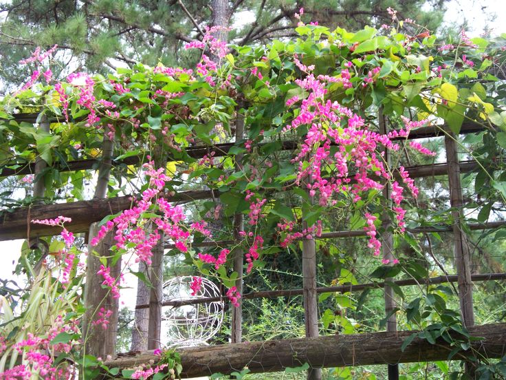 My fall final bloom of my coral vine flowers on my bamboo trellis.