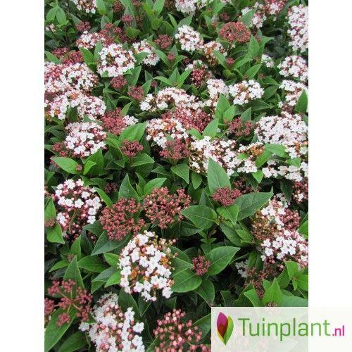 Groenblijvende sneeuwbal (Viburnum tinus)