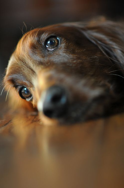 Oh how I love those eyes... #dachshund