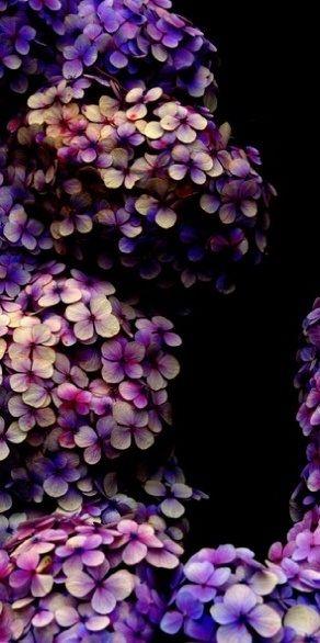 Beautiful hydrangea colors