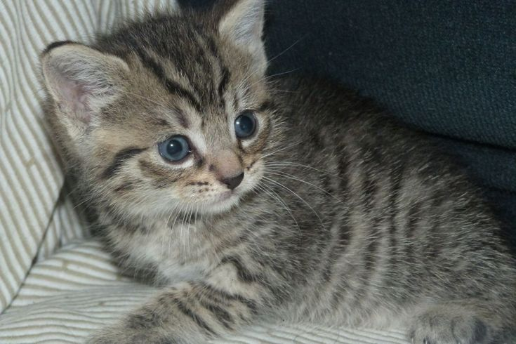 Brown Tabby Kitten | Adorable Grey/Brown Stripy Tabby kitten for sale | Smethwick, West ...