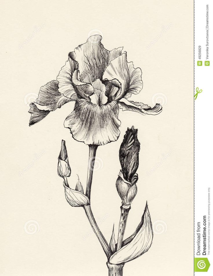 Iris Flower Pen And Ink Drawing Stock Illustration - Image: 49256829