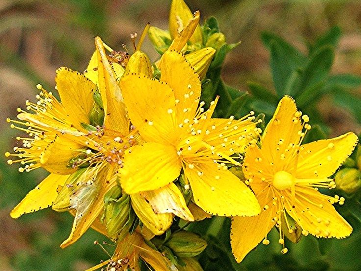 John's wort (Hypericum) is known for its antidepressant effects and is useful in treating alcohol withdrawal symptoms. The plant prevents the desire for alcohol, reduces the cravings for ethanol and prevents a relapse in recovering alcoholics.  #red #hypericum  #hypericum #calendula  #plant #hypericum