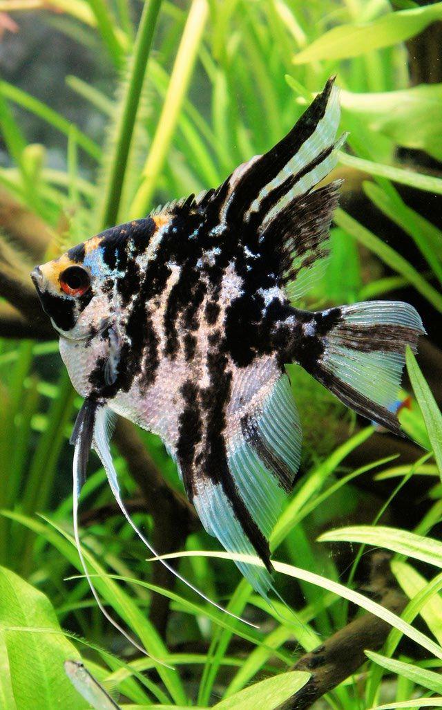 Marbled Angelfish: Marbled Angelfish