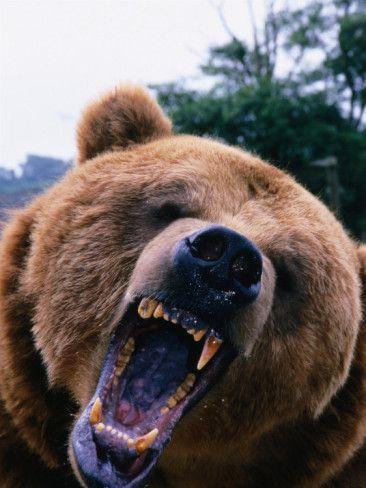 Grizzly Bear (Ursus Arctos), Denali National Park & Preserve, Alaska, USA Photographic Print by Mark Newman at AllPosters.com