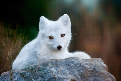 Northern White Fox by Vladimir Naumoff: Northern White,  Alopex Lagopus,  White Foxes, Artic Foxes, Arctic Foxes, Foxes Animal, Foxes Bi, Foxy Foxes, Animal