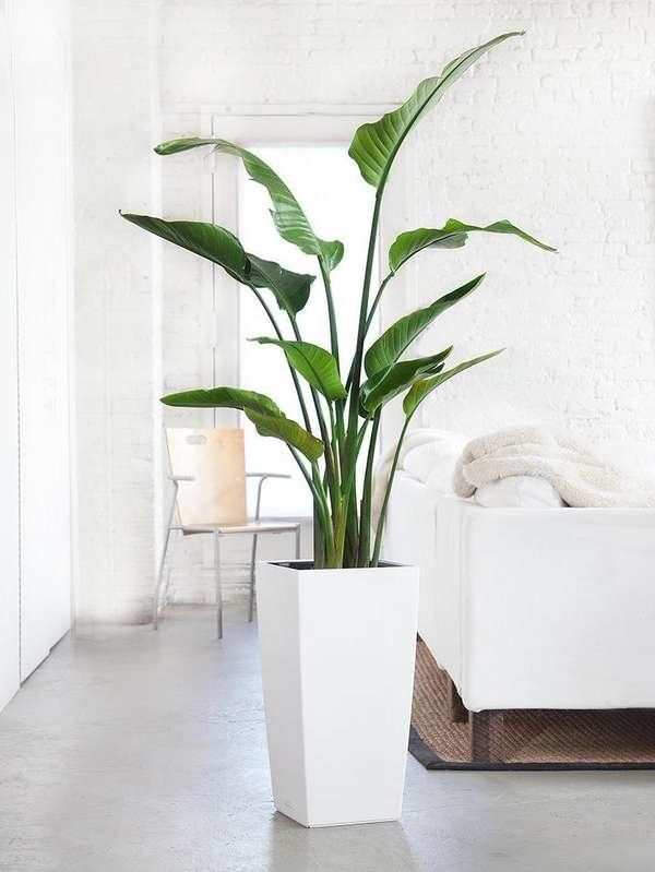 10 Huge Houseplants That Make A Statement Tall Potted Plants