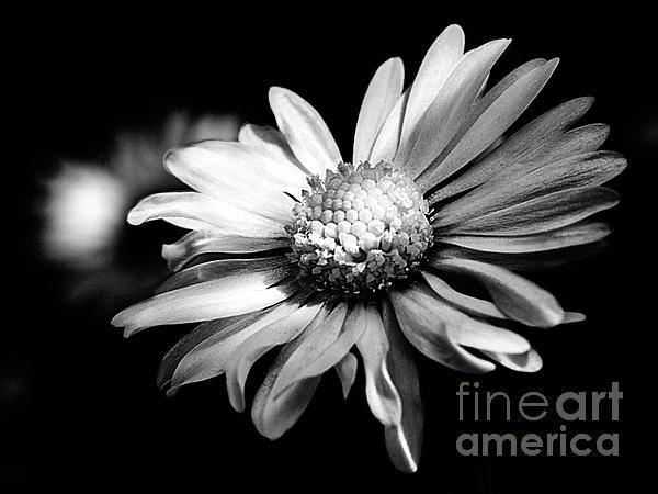 Daisy - Leucanthemum adustum  #flowers #daisy #Leucanthemum #adustum