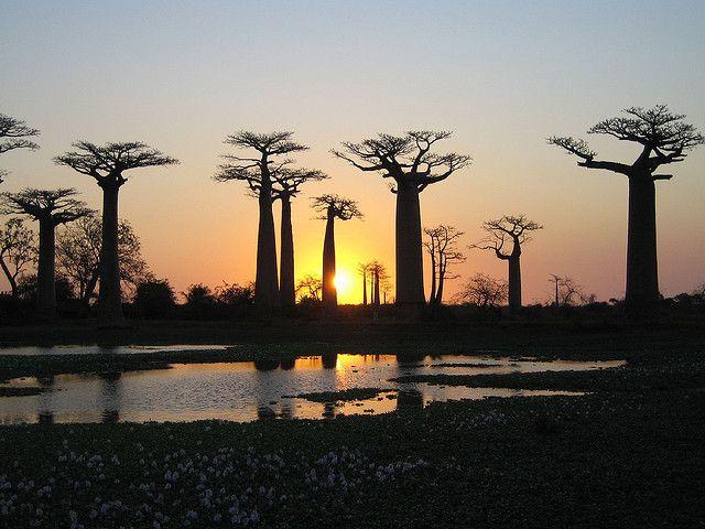 マダガスカルのモロンダバ郊外、Avenue of the Baobabs(バオバブの並木道)と呼ばれる小道に立ち並ぶ巨大なバオバブの木。空に向かってまるで手を伸ばしているかのように見えるそれらは、広い大地の上で圧倒的な存在感を放っています。