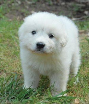 Great Pyrene Dog Breed Info