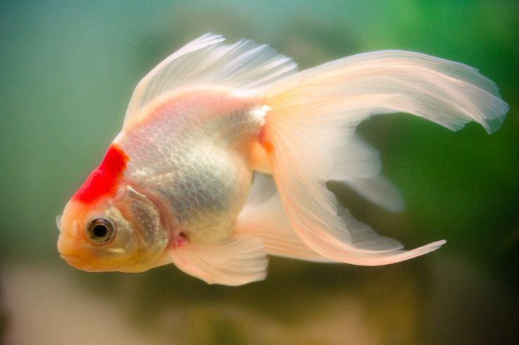 17 best images about goldfish on pinterest goldfish for Outdoor goldfish for sale