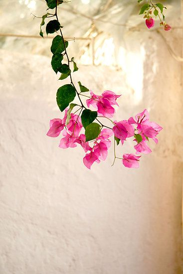 Bougainvillea, my collection is growing. I've got pink, white and purple, I think this pink is my favourite. They all seem to do best in clay pots, grow fast in the sun and flower prolifically.