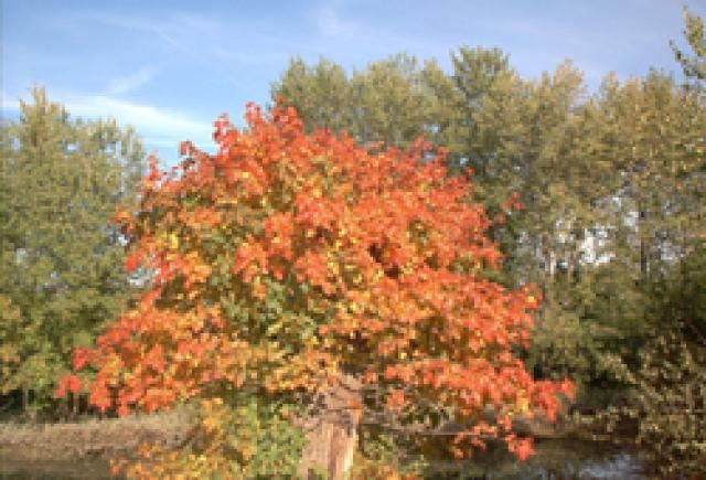 How to Get Rid of Poison Ivy Vines: Poison ivy plant's foliage is splendid in the fall. But don't touch!