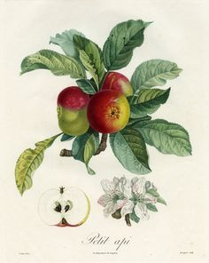 Pierre Jean François Turpin. Petit api from Traitè des Arbres Fruitiers by M. Duhamel du Monceau, 1808-1835. Hand-colored engraving.