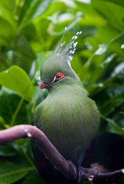 The Schalow's Turaco (Tauraco schalowi) has, on average, the longest crests of any turaco species.