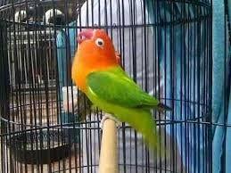 Berkicau Mania: Cara Mudah Pemasteran Burung Loverbird Agar Ngekek...