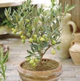 Как вырастить оливковое дерево в домашних условиях.