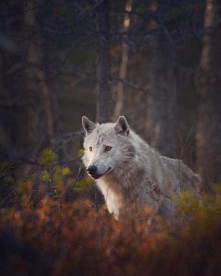 Grey wolf (canis lupus) in evening light. Finland  #WildGeography #GlobalDaily #bella_shots #elegantanimals #animalelite #exklusive_nature #shotaward #wonderfulworld #amazing_picturez #igscwildlife #animalsmood #exelent_nature #exclusive_animals #planet_of_animals #perfection_nature #pro_nature #greatshots #greatphotos #masters #master_shots #magic_shots #nature_of_our_world #igscwildlife #IgAnimal_Snaps #igcutest_animals #igscselect #macro_vision
