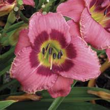 """Always Afternoon tetraploid, early, 20-24"""", semi-evergreen, repeat and extended bloom, 5 1/2 inch flowers"""