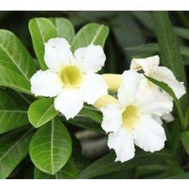 Rosa del Desierto 'blanca' (Adenium obesum)