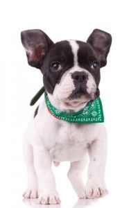 French Bulldog Temperament – Do You Know What To Expect