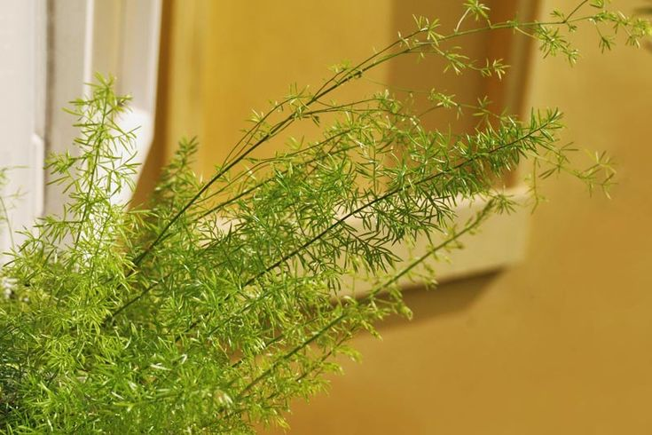 Häntäparsa (Asparagus densiflorus 'Meyeri')